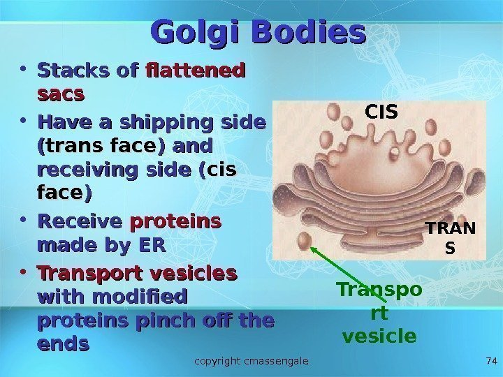 74 Golgi Bodies • Stacks of flattened sacs • Have a shipping side ((