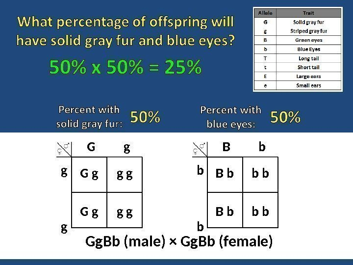 Gg. Bb (male) × Gg. Bb (female) B   b b