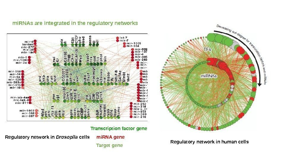mi. RNAs are integrated in the regulatory networks Transcription factor gene mi. RNA gene