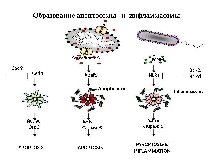 APOPTOSIS PYROPTOSIS & INFLAMMATIONCytochrome C Apaf 1 Apoptosome Active Caspase-9 PAMPs NLRs Bcl-2, Bcl-xl