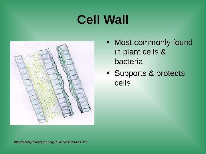 Cell Wall • Most commonly found in plant cells & bacteria • Supports &