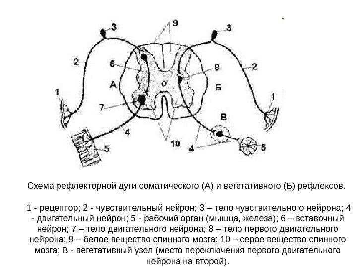 Нервная система рефлекторная дуга схема