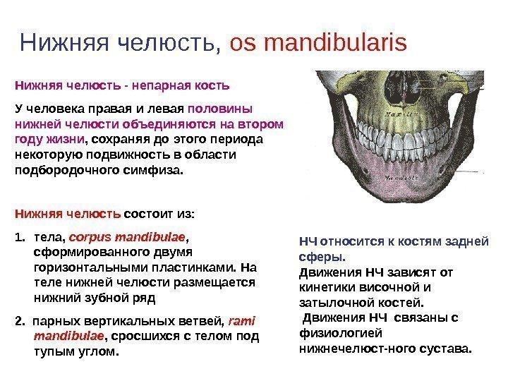 Схема челюстей с описанием