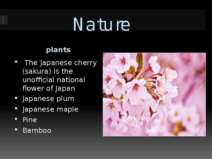 N ature plants  The Japanese cherry (sakura) is the unofficial national flower of