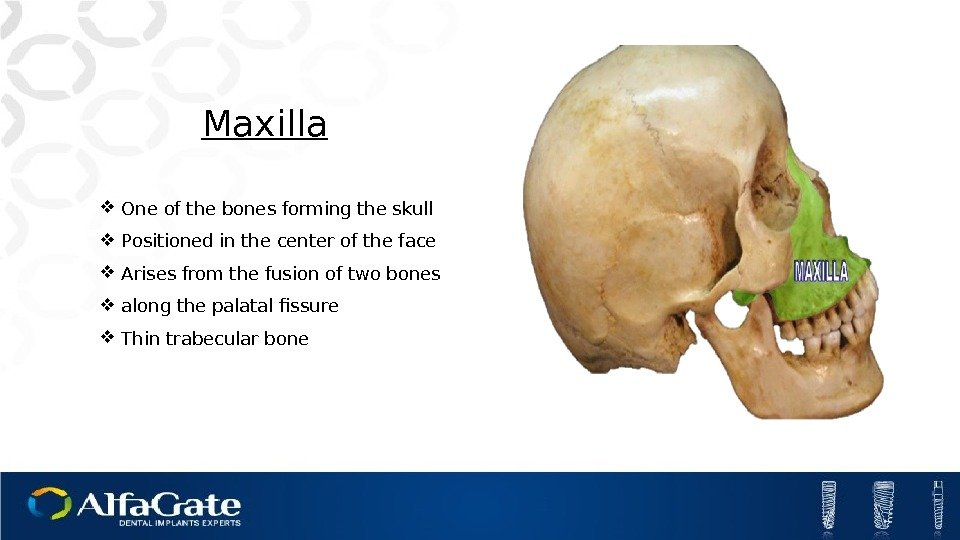 Maxilla One of the bones forming the skull Positioned in the