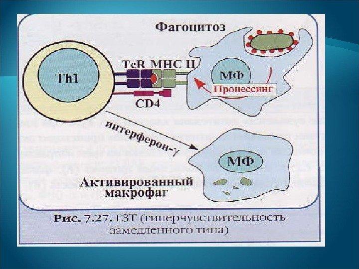 Рецепторно опосредованные аллергические реакции