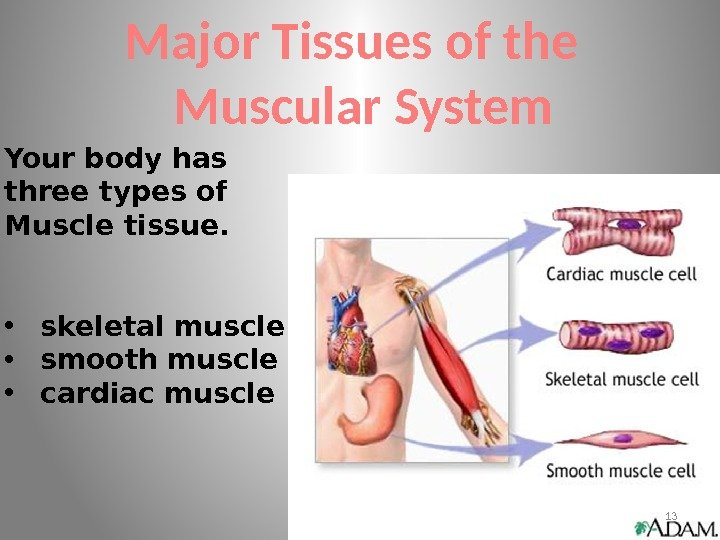 Major Tissues of the  Muscular System Your body has three types of Muscle