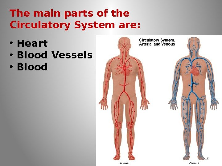 The main parts of the Circulatory System are:  • Heart • Blood Vessels
