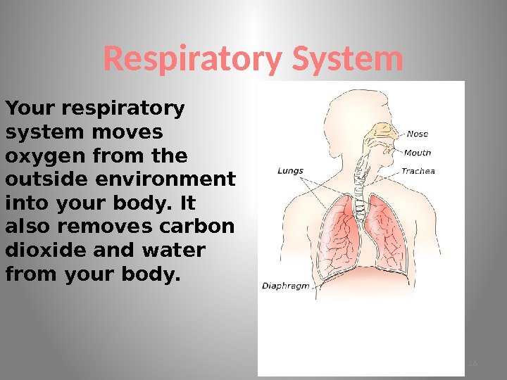 Respiratory System Your respiratory system moves oxygen from the outside environment into your body.