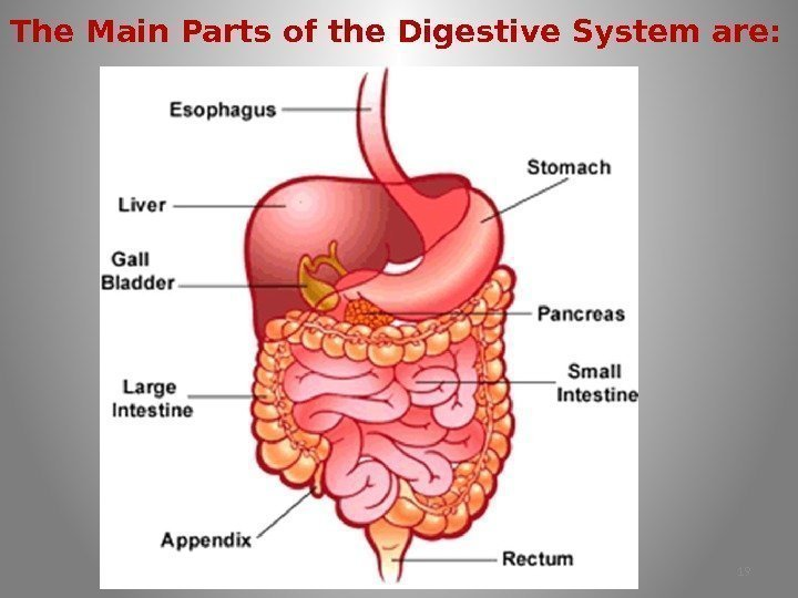 The Main Parts of the Digestive System are: 19