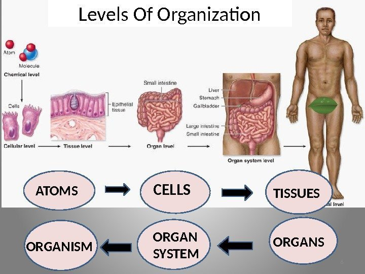 Levels Of Organization ATOMS CELLS TISSUES ORGANSORGAN SYSTEMORGANISM 6