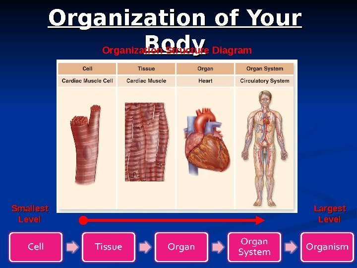 5 Organization of Your Body Organization Structure Diagram Smallest Level Largest Level