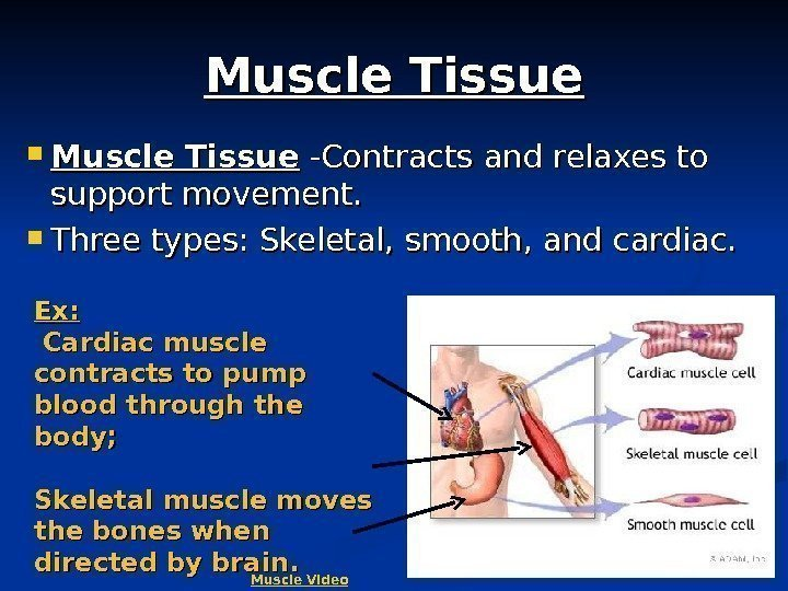 7 Muscle Tissue -Contracts and relaxes to support movement.  Three types: Skeletal, smooth,