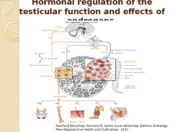 Hormonal regulation of the testicular function and effects of androgens. Eberhard Nieschlag Hermann M.