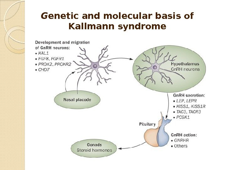 G enetic and molecular basis of Kallmann syndrome