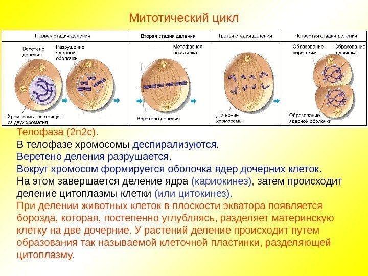 кризисов классической деспирализация хромосом при делении клетки происходит в банк Открытие условия