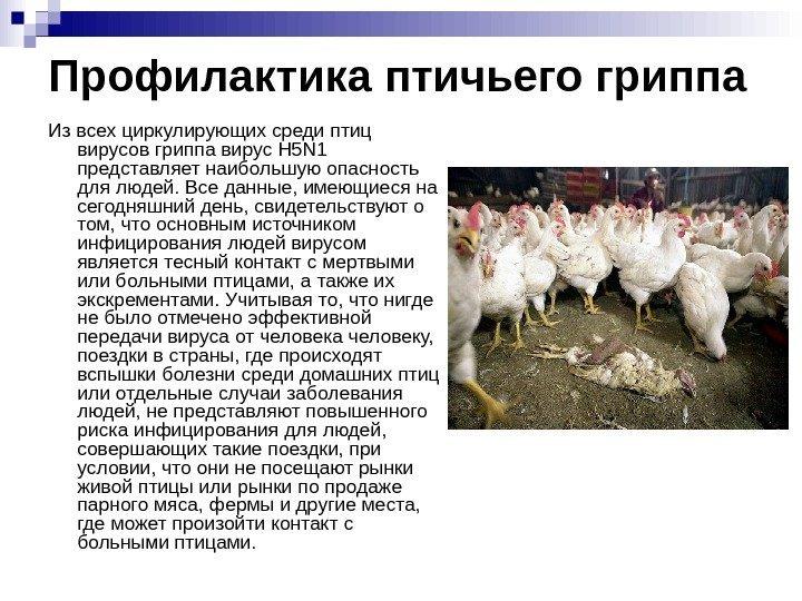 грипп птиц картинки для презентаций избежать ошибок
