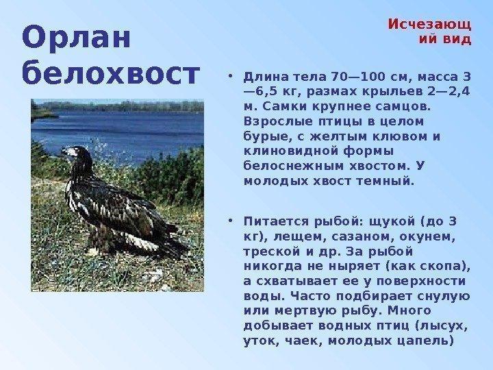 орлан белохвост фото и описание стоит внимательнее