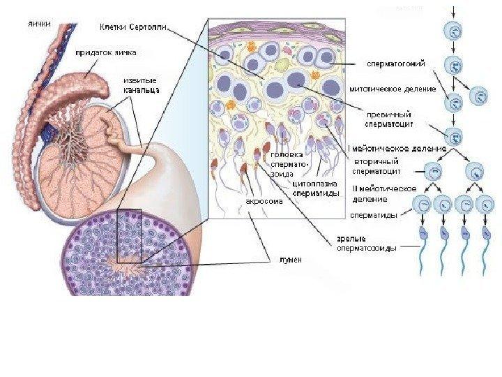 Прегнил улучшает сперматогенез