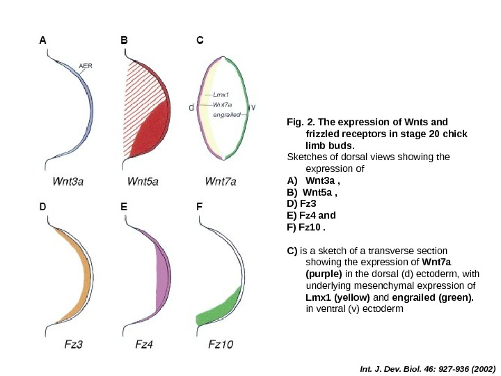 Int. J. Dev. Biol. 46: 927 -936 (2002)Fig. 2. The expression of Wnts and