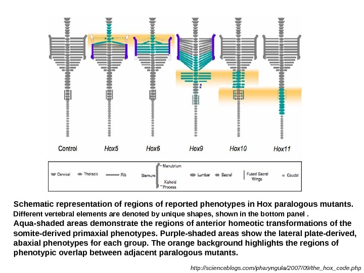 Schematic representation of regions of reported phenotypes in Hox paralogous mutants.  Different vertebral