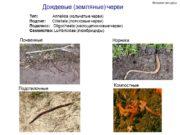 Дождевые (земляные) черви Тип: Annelida (кольчатые черви) Подтип:
