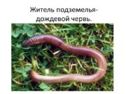 Житель подземелья- дождевой червь. Строение дождевого червя В