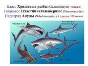 Класс Хрящевые рыбы Chondrichthyes 730 видов Подкласс Пластинчатожаберные