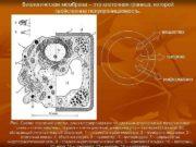 Биологическая мембрана это клеточная граница которой свойственна
