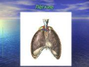 Лёгкие   Лёгкие — органы воздушного дыхания