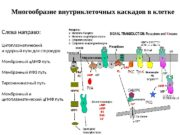 Многообразие внутриклеточных каскадов в клетке Слева направо: Цитоплазматический