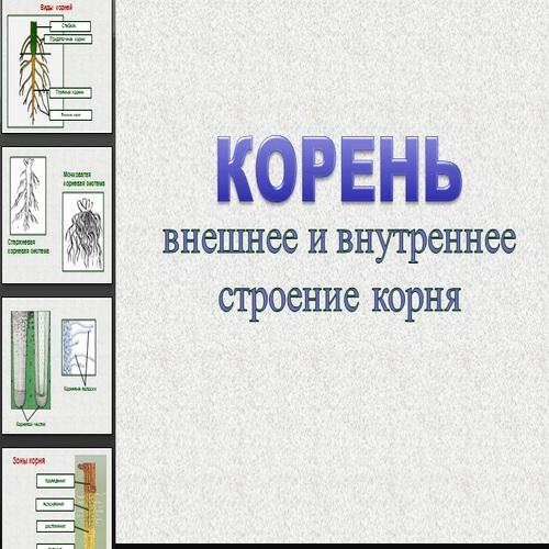 Презентация Корень