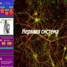 Презентация Нервная система