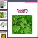 Презентация Гинкго