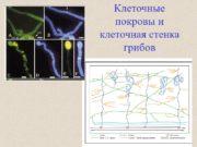 Клеточные покровы и клеточная стенка грибов Клеточные покровы
