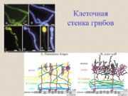 Клеточная стенка грибов Грибная стенка — рабочая органелла