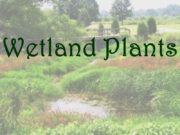 Wetland Plants Why Are Wetland Plants Important? Provides