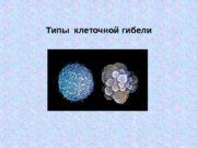 Типы клеточной гибели Механизмы  Виды клеточной гибели