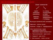 Кости туловища и добавочного скелета Скелет конечностей скелет