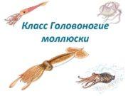 Класс Головоногие моллюски  Головоногими этих моллюсков называют