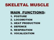 SKELETAL MUSCLE MAIN FUNCTIONS:  1.  POSTURE