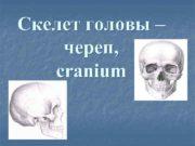 Скелет головы – череп, cranium  Кости мозгового