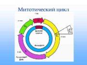 Митотический цикл  ИНТЕРФАЗА    1