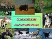 Многообразие млекопитающих    Тип Хордовые