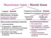 Мышечные ткани – Muscle tissue Гладкая —