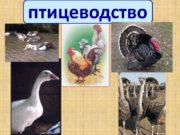 Птицеводство Птицеводство, отрасль животноводства, в задачу которой входит