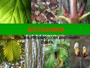 БОТАНИКА Раздел «Морфология растений» Почка.  Пазушное положение