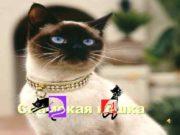 Сиамская кошка Внешний вид Современная сиамская кошка