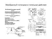 Мембранный потенциал и потенциал действия Мембранный потенциал нервной