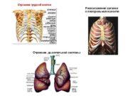 Строение грудной клетки Расположение органов в плевральной полости